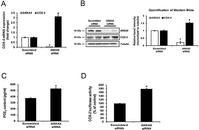 Effect of annexin A5 knockdown by siRNA on cyclooxygenase 2 (COX-2) expression.