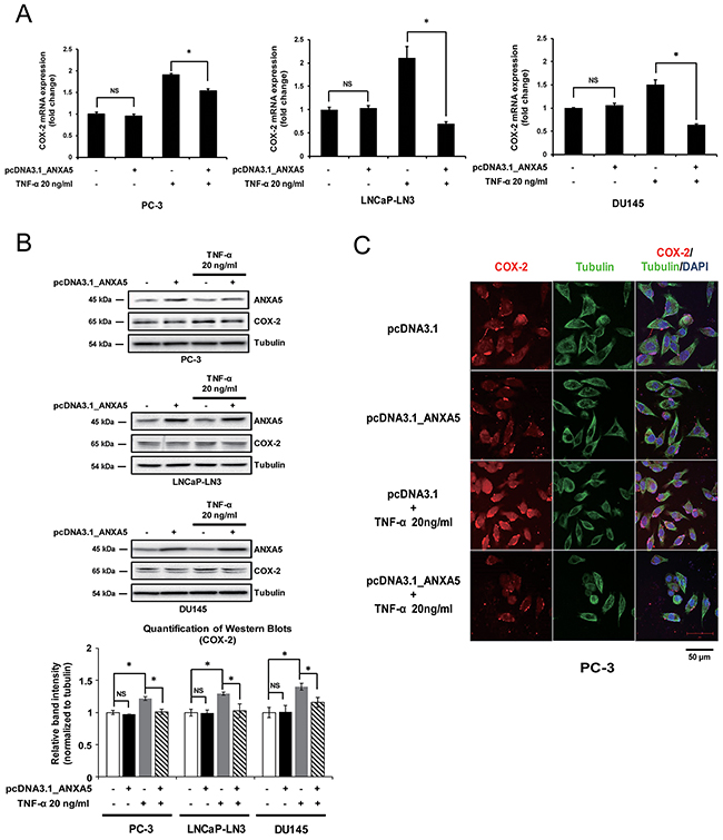 Suppression of tumor necrosis factor α (TNF-α)-induced cyclooxygenase 2 (COX-2) expression by overexpression of annexin A5.