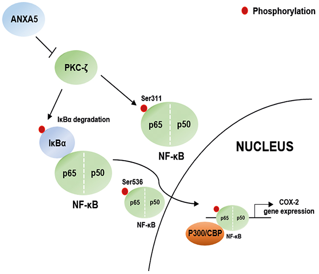 Scheme for the novel mechanisms of ANXA5.