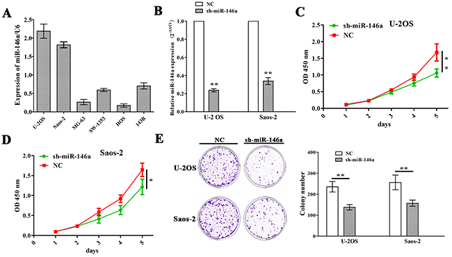 Knockdown of miR-146a inhibited OS cell proliferation and colony formation.