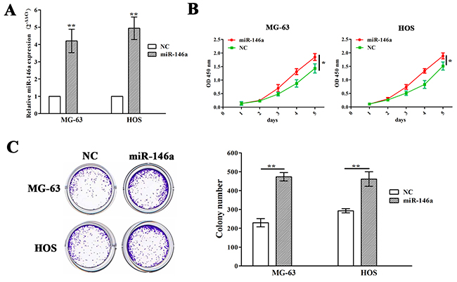Ectopic expression of miR-146a promoted OS cell proliferation and colony formation.