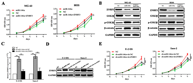 ZNRF3 overexpression rescued tumor proliferation-promoting effects by miR-146a.