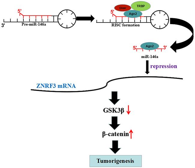 miR-146a promoted OS tumorigenicity via regulation of ZNRF3/GSK-3β/β-catenin signaling pathway.