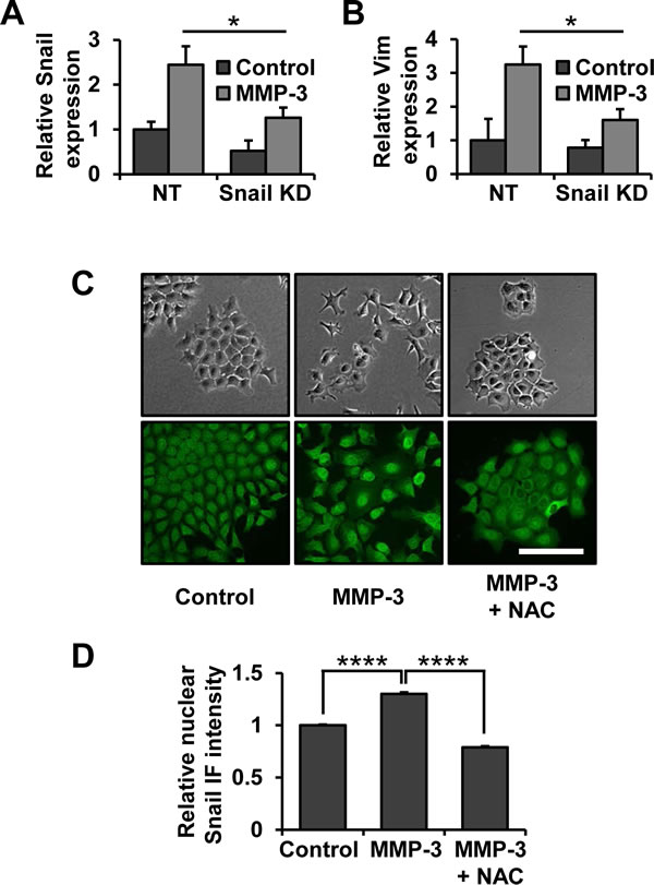 Snail is a necessary effector of MMP-3-induced alterations of gene expression and cell morphology.