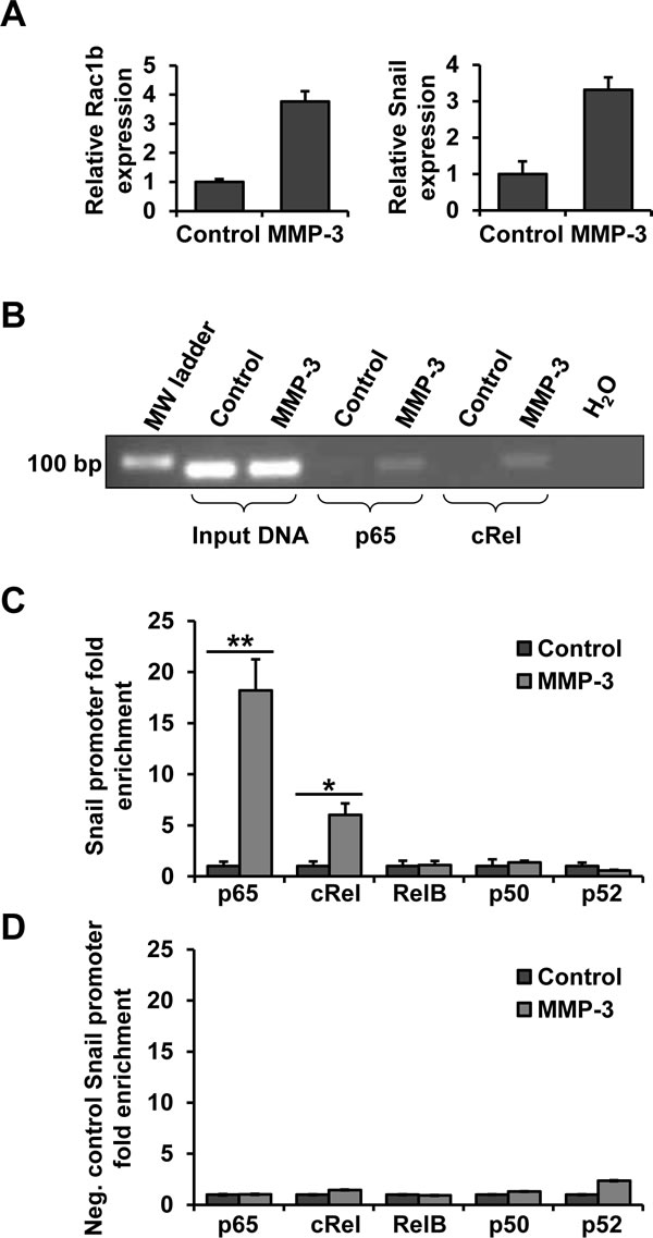 NF-κB subunits p65 and cRel bind to the Snail promoter in response to MMP-3.