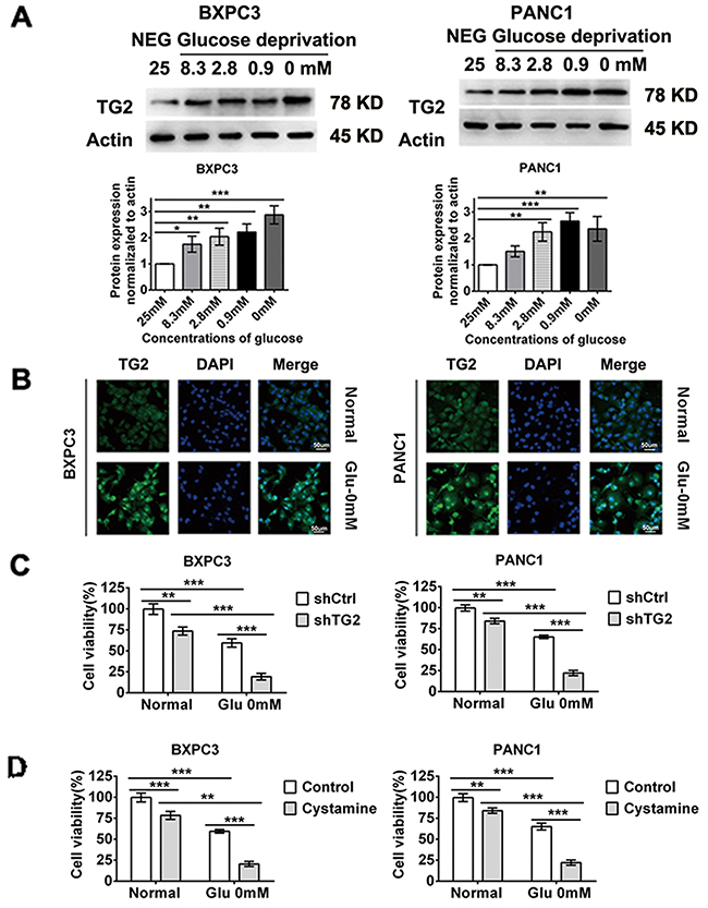 TG2 up-regulation and activation is required in resistant to glucose starvation stress.