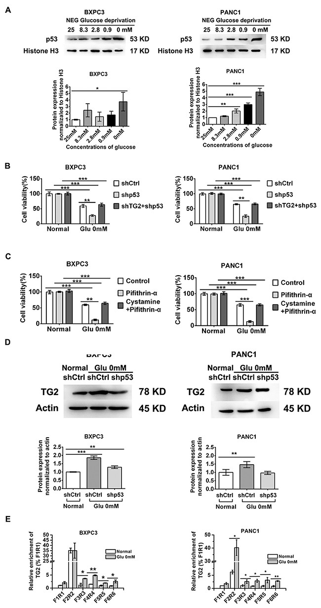 Role of p53 nuclear activation in regulating TG2 up-regulation in resistant to glucose starvation stress.