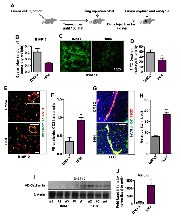 Sac-1004 reduces vascular leakage with concomitant increase in junction integrity in tumor blood vessels.