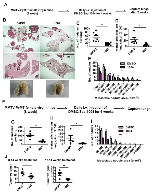 Sac-1004 reduces the extent of metastasis in MMTV-PyMT mice.