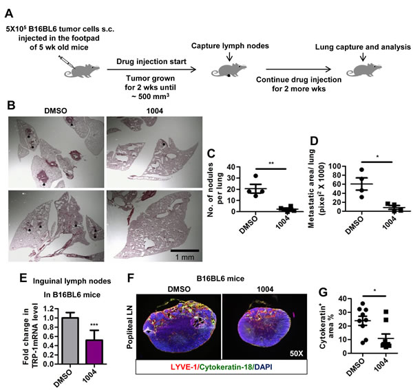 Sac-1004 reduces lung and lymph node metastasis in B16BL6 foot-pad metastasis mice model.