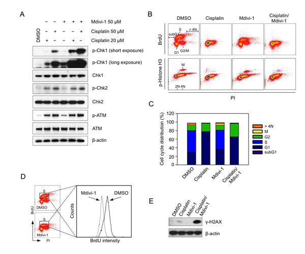 Mdivi-1 inhibits DNA replication and its combination with cisplatin enhances replication stress leading to efficient G2 phase arrest of the cell cycle (A) MDA-MB-231 cells were treated with cisplatin alone, mdivi-1 alone or the combination at the indicated concentrations for 4 h.