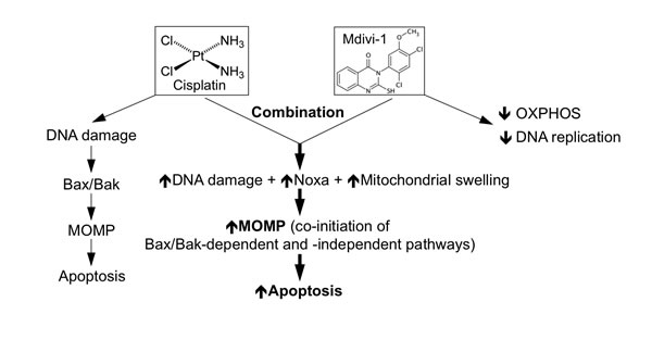 Proposed model on the mechanism underlying strong induction of apoptosis by the combination of cisplatin and mdivi-1.