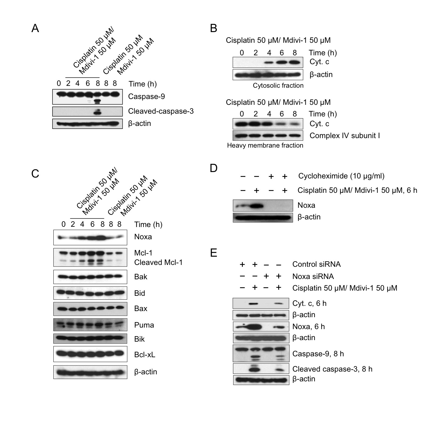 The combination of cisplatin and mdivi-1 preferentially upregulates Noxa and enhances subsequent mitochondrial apoptotic signaling (A) H1299 cells were treated with cisplatin alone, mdivi-1 alone, or the combination of cisplatin and mdivi-1 as indicated.