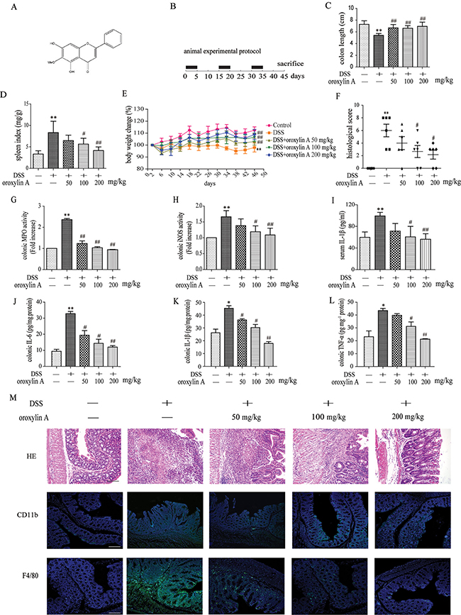 Dietary administration of oroxylin A attenuated DSS-induced chronic colitis.