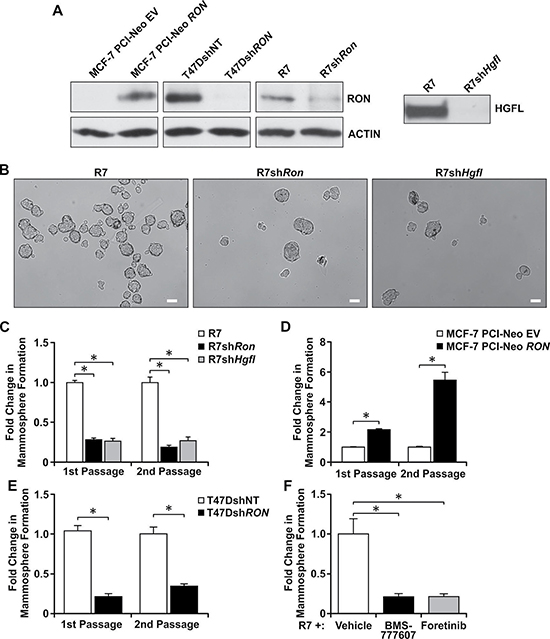 Loss of HGFL-RON signaling diminishes BCSC mammosphere formation and self-renewal.