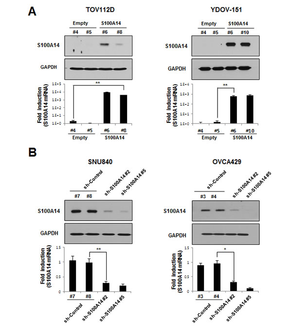 Ectopic S100A14 expression and knockdown in lentivirus-mediated stable cells.