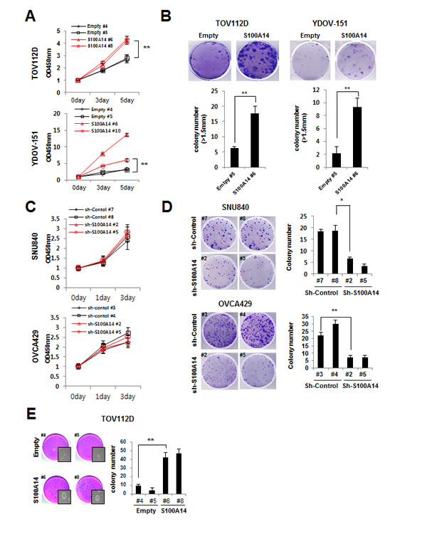 S100A14 increases cell proliferation and clonogenicity.