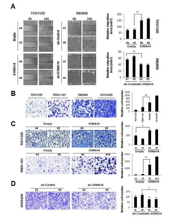 S100A14 promotes cell migration and invasion.