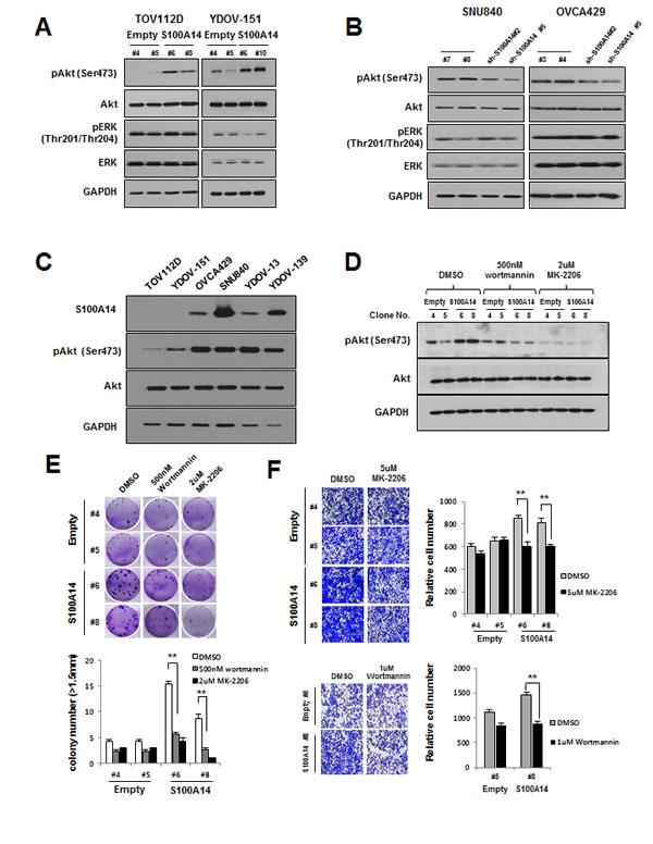 S100A14 controls oncogenic phenotypes of EOC cells through PI3K/Akt pathway.