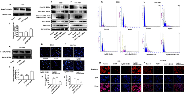 Effects of E-cadherin overexpression on apoptosis of GES-1 and SGC-7901 cells induced by H. pylori.
