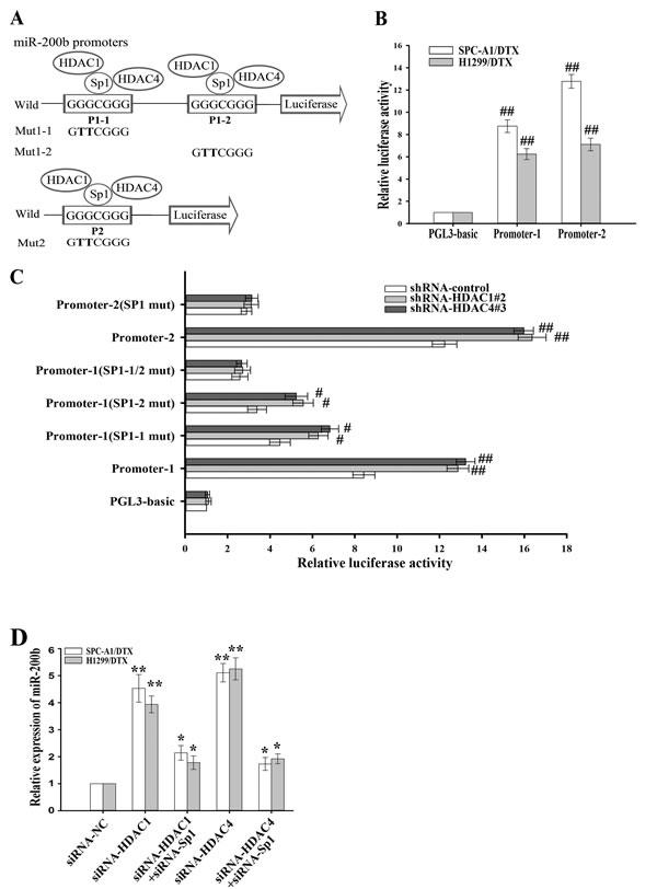 HDAC1/4 decreases miR-200b promoter activities.