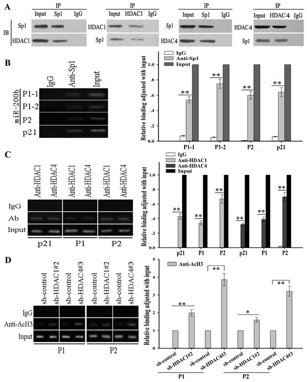 HDAC1/4 repression upregulates histone-H3 acetylation level at miR-200b promoters partially through the Sp1-dependent pathway.