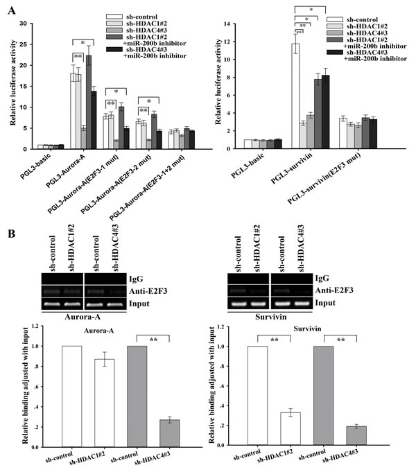 HDAC1/4 involvement in the regulation of survivin or Aurora-A through the miR-200b/E2F3-dependent pathway (SPC-A1/DTX cells).