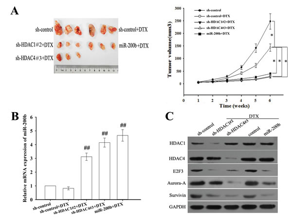 Suppression of HDAC1/4 or upregulation of miR-200b reverses in vivo chemoresistance of docetaxel-resistant LAD cells (H1299/DTX cells).