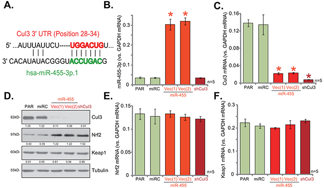 miR-455 expression silences Cul3, causing Nrf2 protein stabilization in human osteoblastic cells.