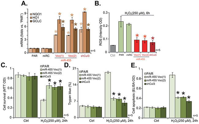 Cul3 knockdown by expressing miR-455 or targeted-shRNA protects hFOB1.