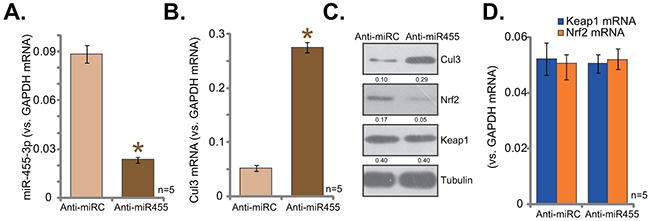 miR-455 anti-sense induces Cul3 upregulation and Nrf2 degradation.