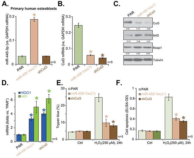 miR-455-induced Cul3 silence protects primary human osteoblasts from H2O2.