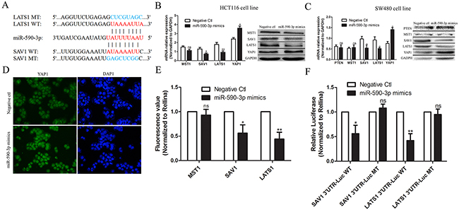miR-590-3p inhibits Hippo pathway by targeting SAV1 and LATS1 in CRC.