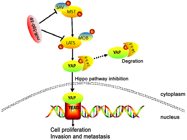 Schematic representation of a model for the major molecular mechanism of biological effect of miR-590-3p via Hippo pathway in CRC.
