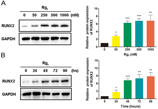 Ginsenoside Rg1 induces RUNX2 expression in HUVECs.
