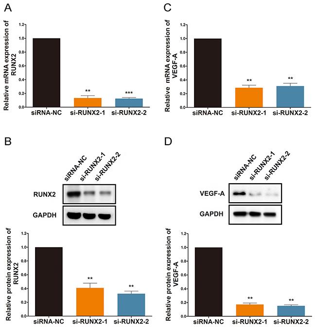 RUNX2 regulates VEGF-A expression under ginsenoside Rg1 treatment.