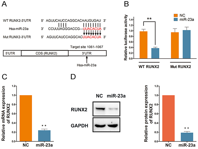 RUNX2 is directly targeted and regulated by miR-23a.
