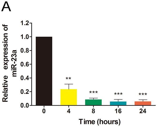 Ginsenoside Rg1 reduces miR-23a expression.