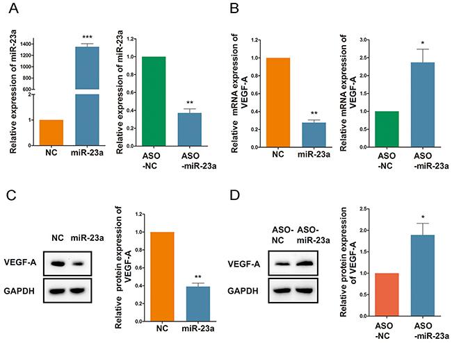 MiR-23a regulates ginsenoside Rg1-induced VEGF-A expression.