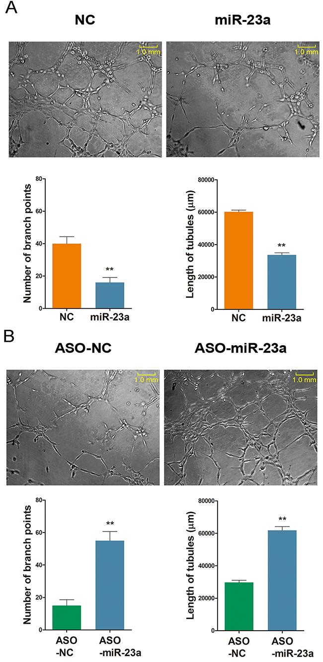 MiR-23a regulates ginsenoside Rg1-induced angiogenesis in vitro.