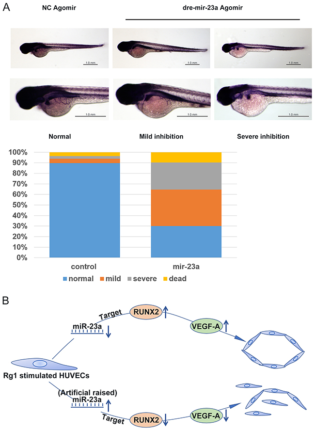 MiR-23a regulates ginsenoside Rg1-induced angiogenesis in zebrafish.