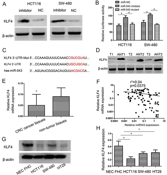 KLF4 is a direct target of miR-543 and KLF4 expression is inversely correlated with miR-543 expression in CRC tissues.