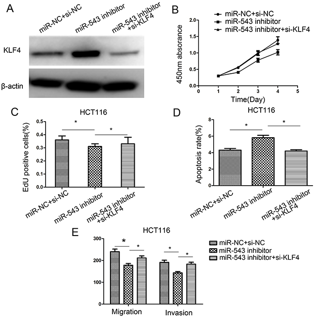Downregulation of KLF4 rescues miR-543's oncogenic effect on CRC cell proliferation, apoptosis, migration, and invasion in HCT116 cells.