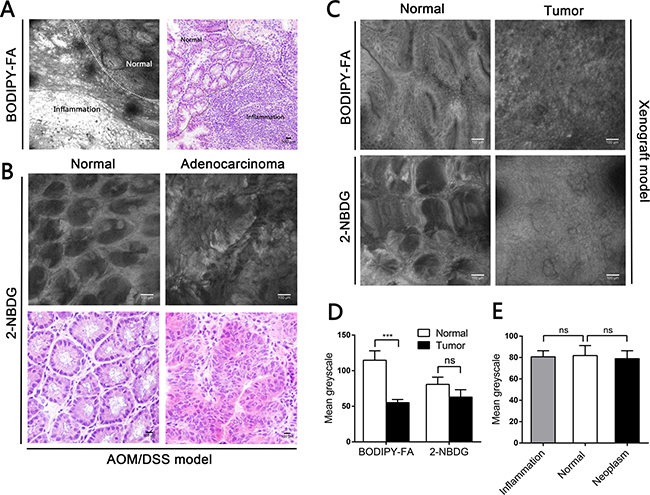 CLE images following topical application of fluorescent agents to the mucosae of mouse models, and corresponding H&E images.