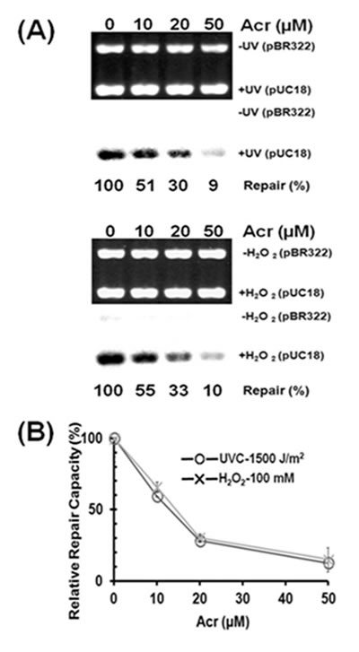 Acrolein treatment inhibits nucleotide excision repair and base excision repair in human urothelial cells.