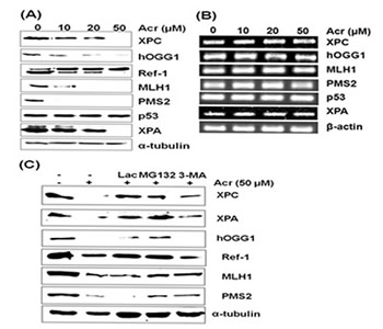 Effect of acrolein treatment on protein and mRNA levels of XPA, XPC, hOGG1, MLH1, PMS2, and Ref-1 gene products in urothelial cells.