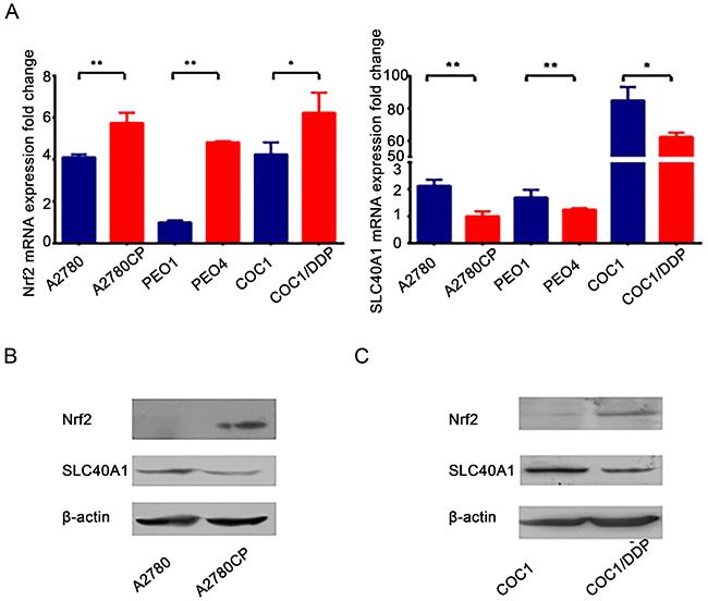 SLC40A1 and Nrf2 expression in cisplatin-sensitive ovarian cancer cells and cisplatin-resistant ovarian cancer cells.