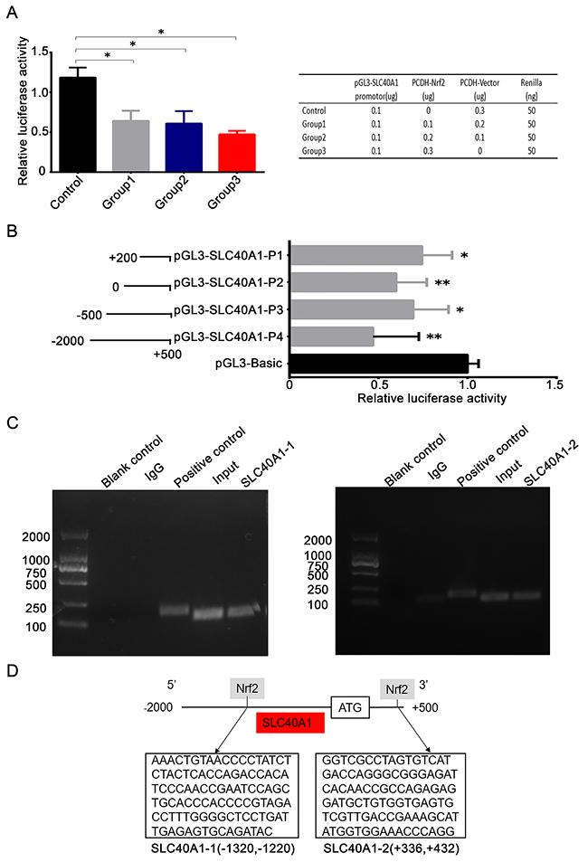 Nrf2 transcriptionally suppresses the expression of SLC40A1.