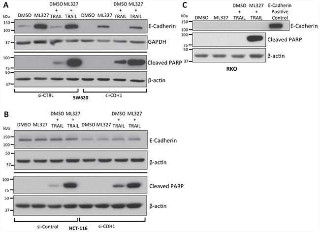 TRAIL sensitization by partial EMT reversal with ML327 is independent of E-cadherin expression.