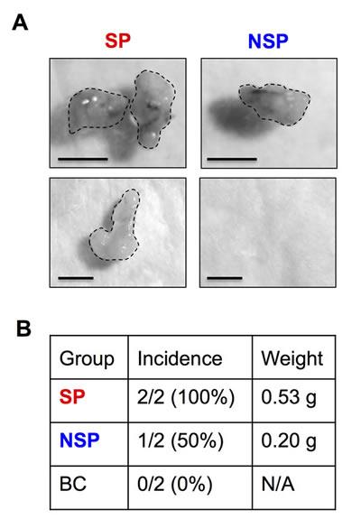 Tumor initiating capability of isolated CSCs.